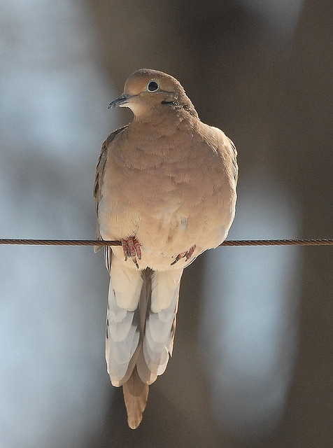 I just had to add the Mourning Dove as my resident dove comes home every Spring to nest in my backyard.