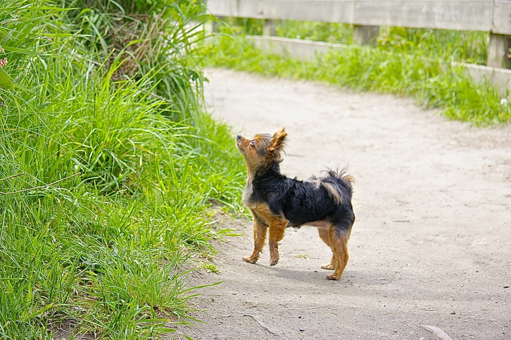 Missy, our 8 year old Yorkie/Pomeranian mix, investigating the local fauna.