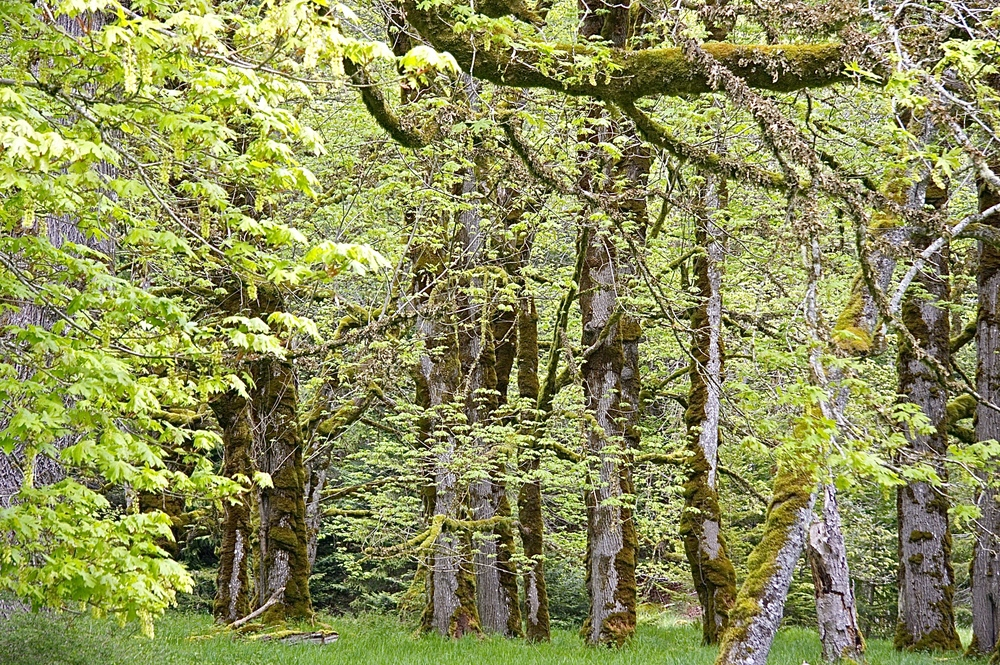 Thick swatches of moss on trees is commonplace on the Olympic Peninsula; it is a temperate rainforest, after all. But this is nothing compared to some of the moss that grows more inland, in the Hoh Rainforest.