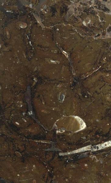 fossil marrone