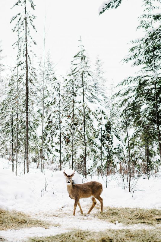 deer in canada by brooke holm