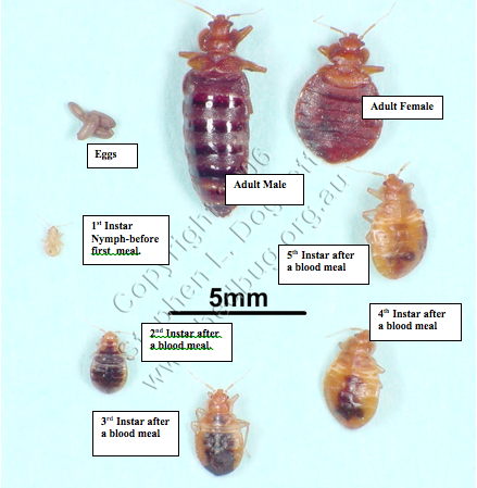 how to detect early stages of bed bugs