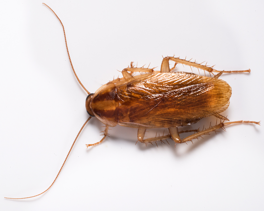 German cockroaches are commonly found indoors around filth and food sources.  Its a smaller member of the cockroach family and easily identified by the 2 dark brown strips on its back.