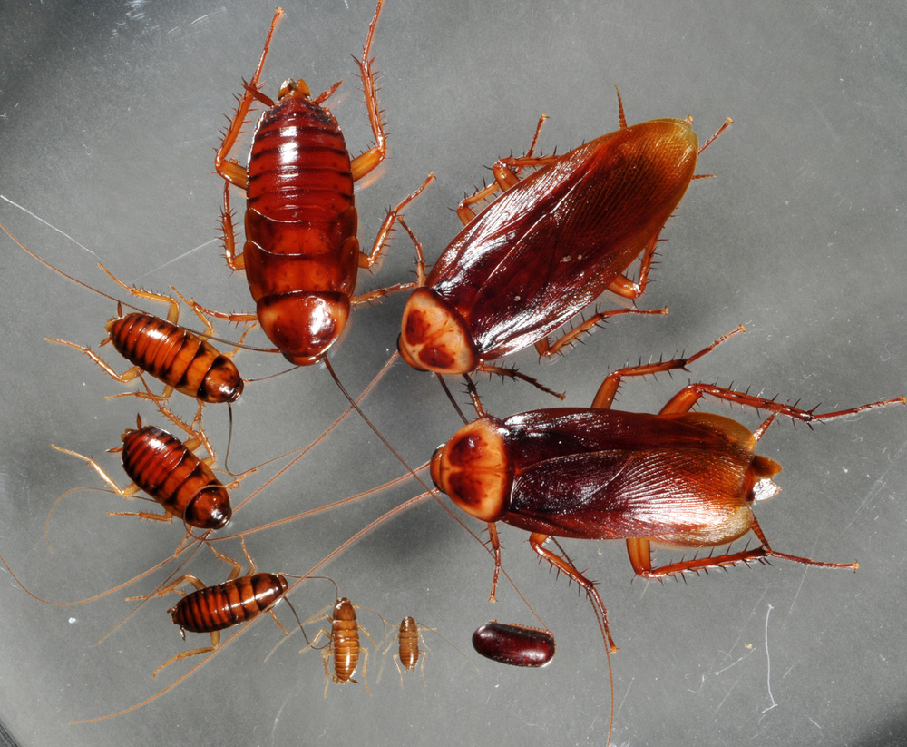 American cockroach in all stages of life