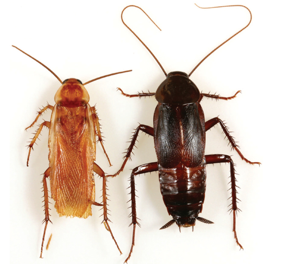 TURKESTAN Roach:  Male (left), Female (right)