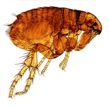 flea.ashx.jpg