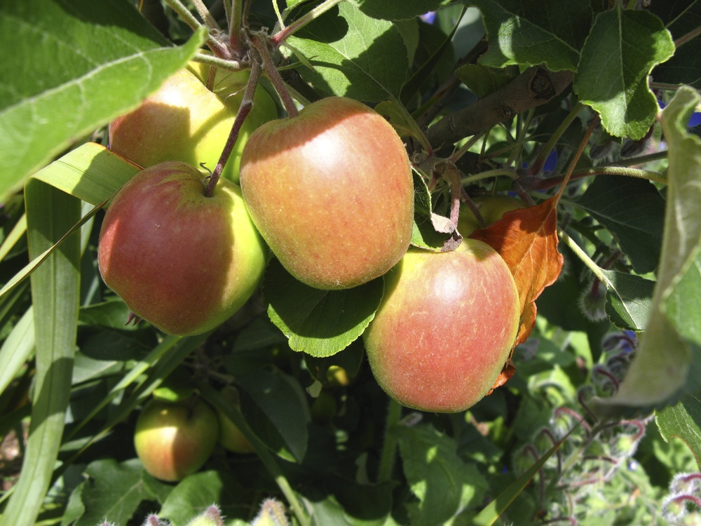 Anna apple tree. Anna apple is a terrific low chill apple suitable for climates like Southern California. Great for eating but also cooking.