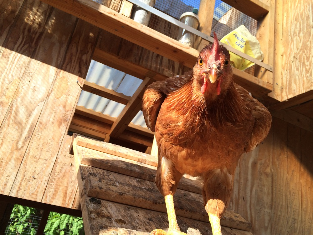 The chickens enjoy 107 Garden's custom chicken rations and vegan restaurant scraps daily.