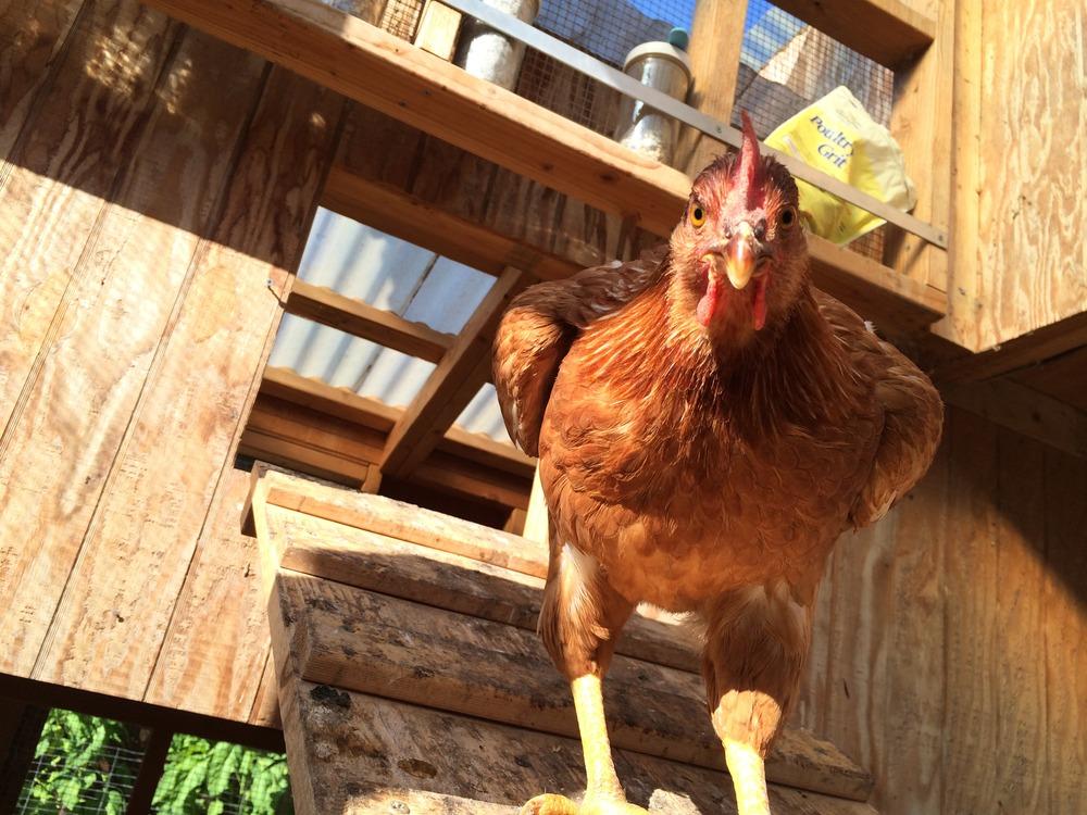 The chickens enjoy 107 Garden's custom chicken rations and vegan restaurant scraps daily.