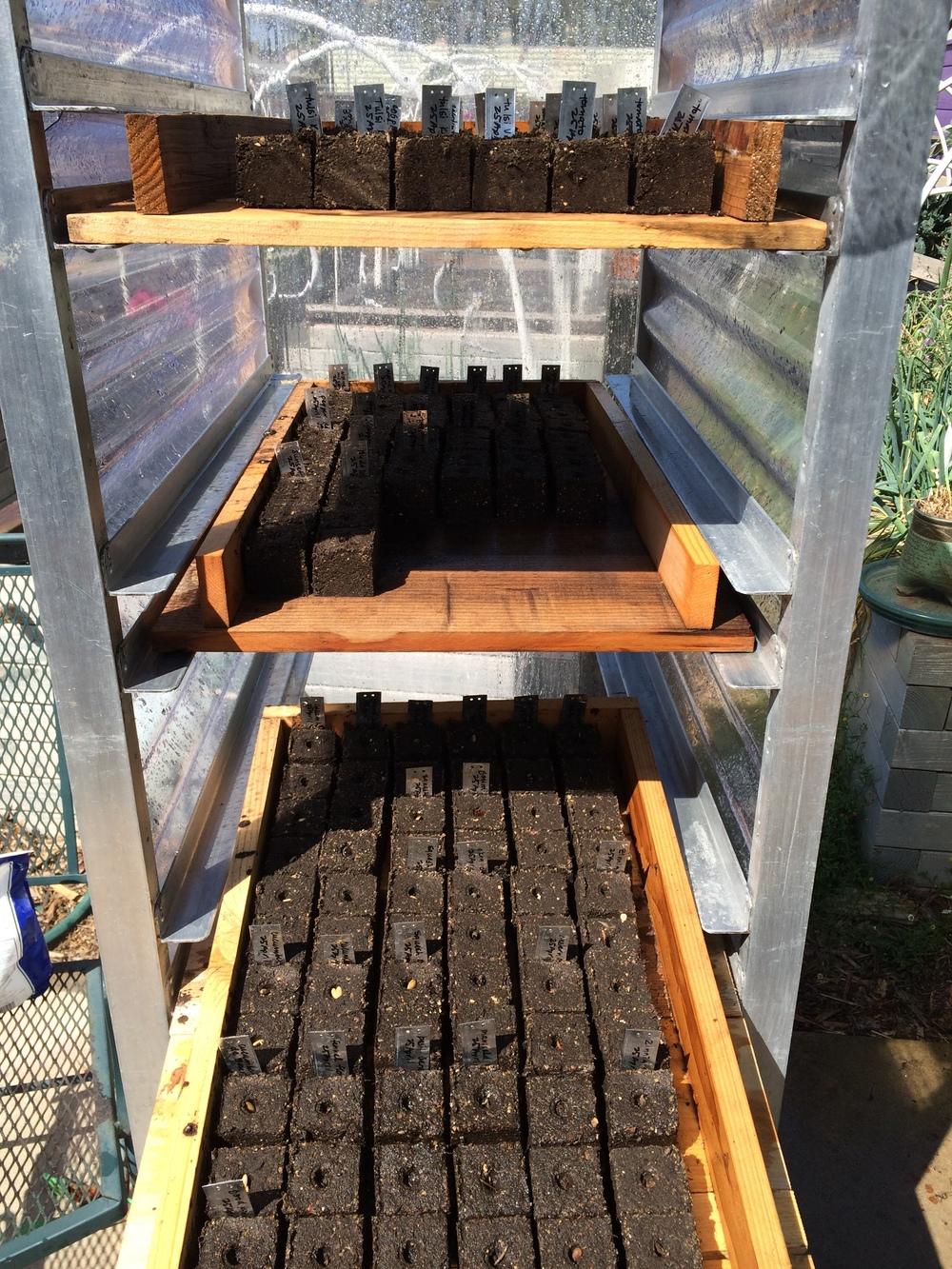 dozens of soil blocks ready to go!