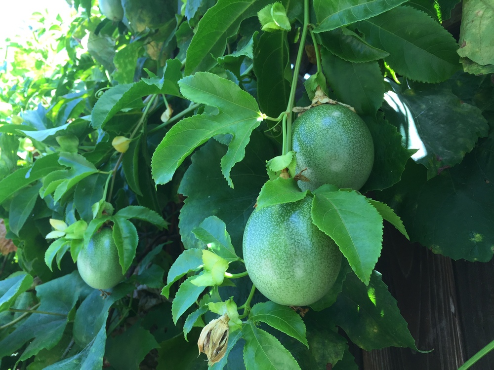 edible passion fruit can be a wonderful climbing plant to add to the garden. terrific evergreen foliage, beautiful flowers, and amazing edible fruit.