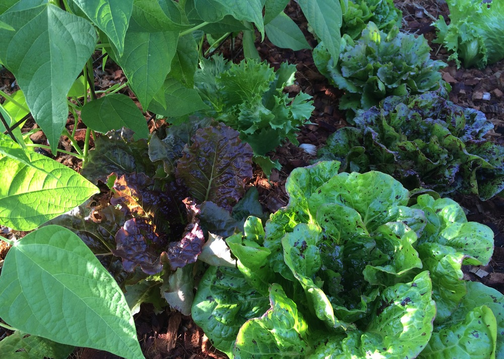 Frank Morton and Wild Garden Seed Lettuces are Amazing! Try a few!