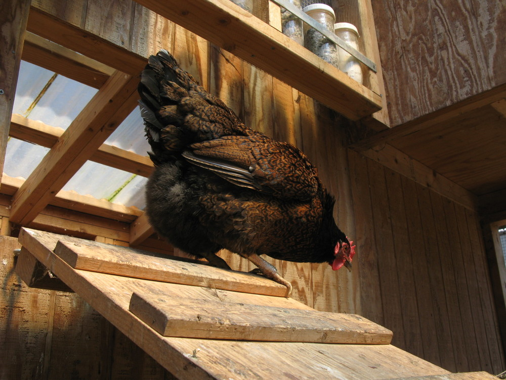 Double-laced barnevelder at 107 Garden. Photo credit:  nialorraine.com