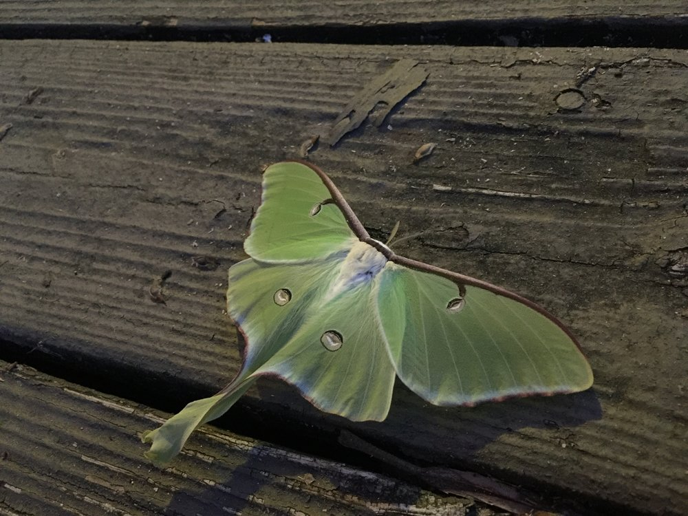 Luna Moth - One night we arrived home and a luna moth (Actias luna) greeted us on the deck.What a beauty! The color and radiance really makes you stop right in your tracks and grab your phone to take a photo.