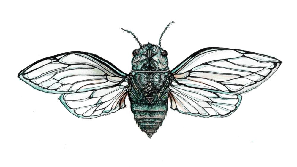 cicada_web.png