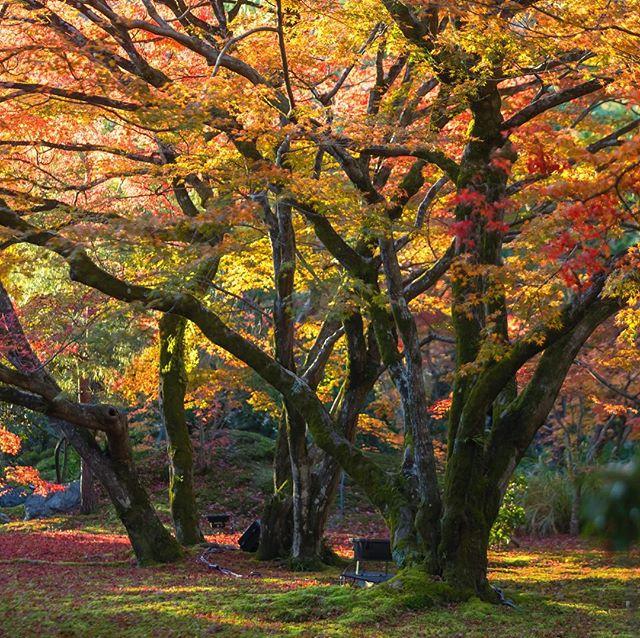 宝厳院、秋景。 Hougonin- Temple. photo by Mitsuyuki Nakajima 三度目の京都 #kyoto#kyototrip #autumnleaves #hougon_in #hougonintemple #宝厳院 #京都 #紅葉 #京都紅葉 #三度目の京都