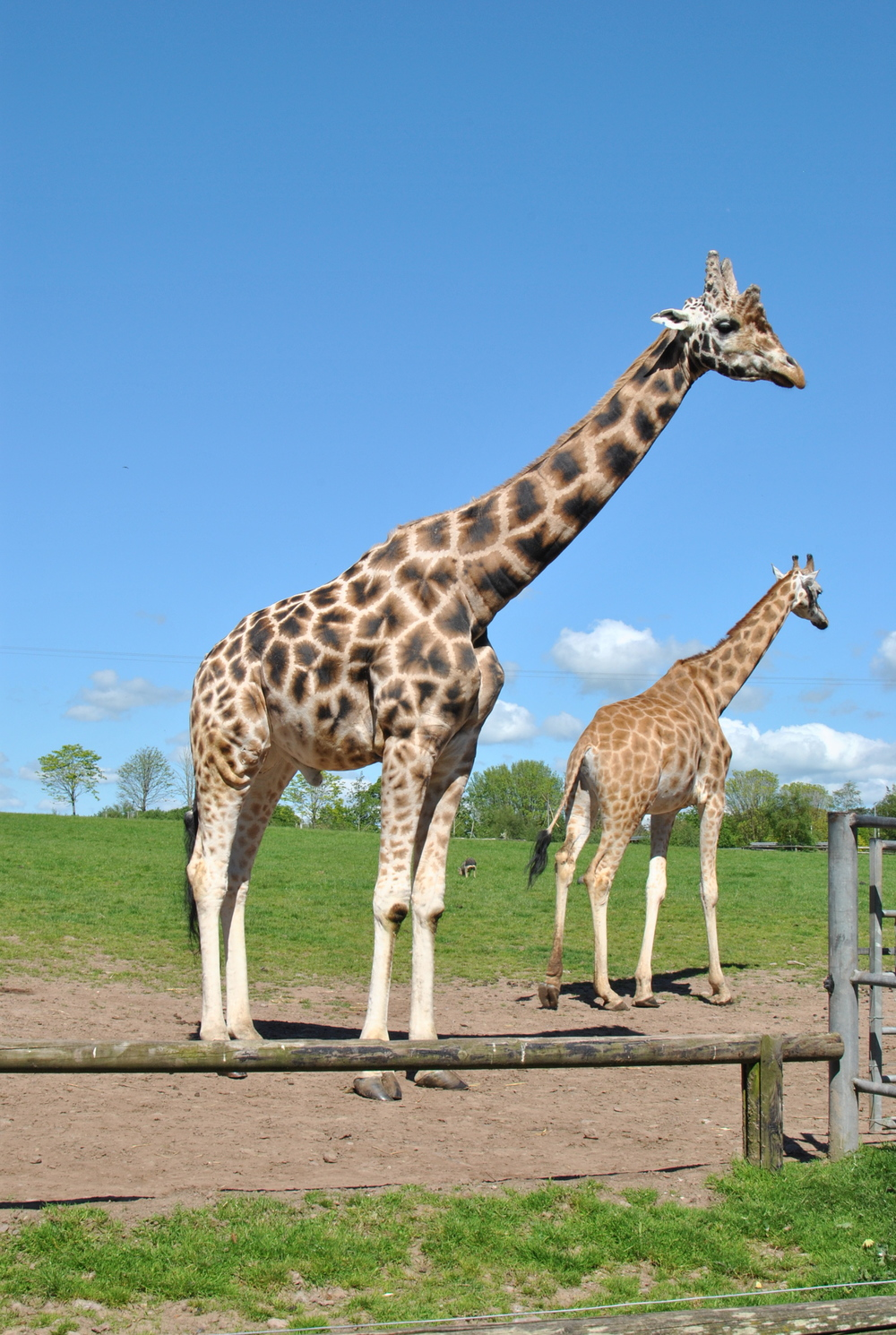 Some of the giraffes at Fota Island Wildlife park  http://www.fotawildlife.ie