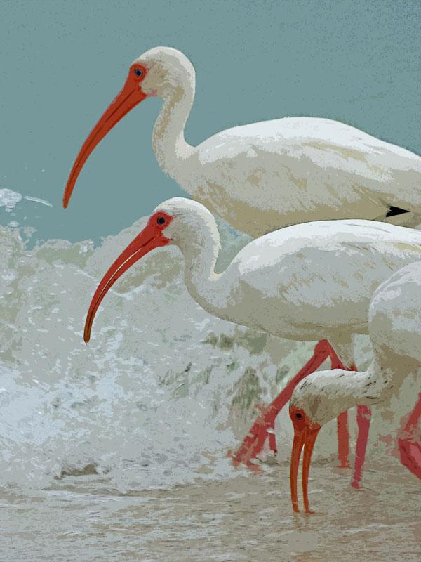 White Ibises at Sanibel