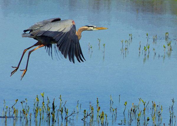 Taking Off (Great Blue Heron)