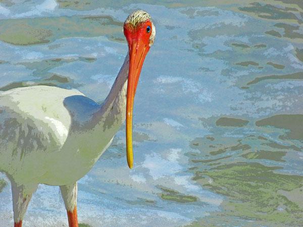 Face to Face (White Ibis)