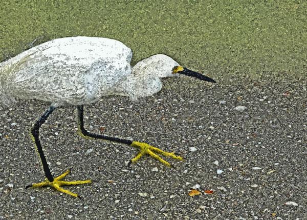 Golden Slippers  (Snowy Egret)
