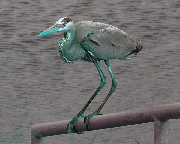 Teal Great Blue Heron
