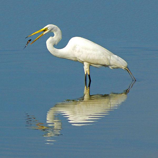 The Pop  (Great Egret)