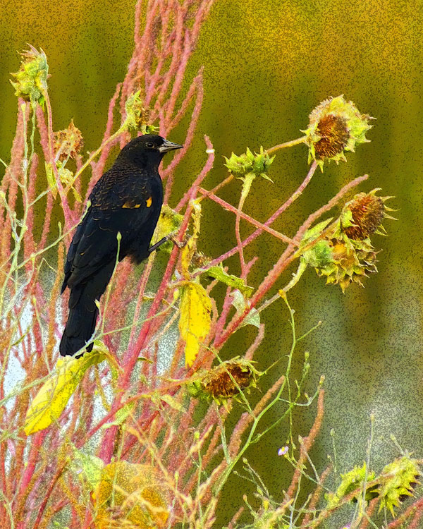 End of Summer  (Red-winged Blackbird)