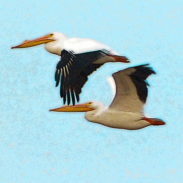 Duo  (American White Pelicans)