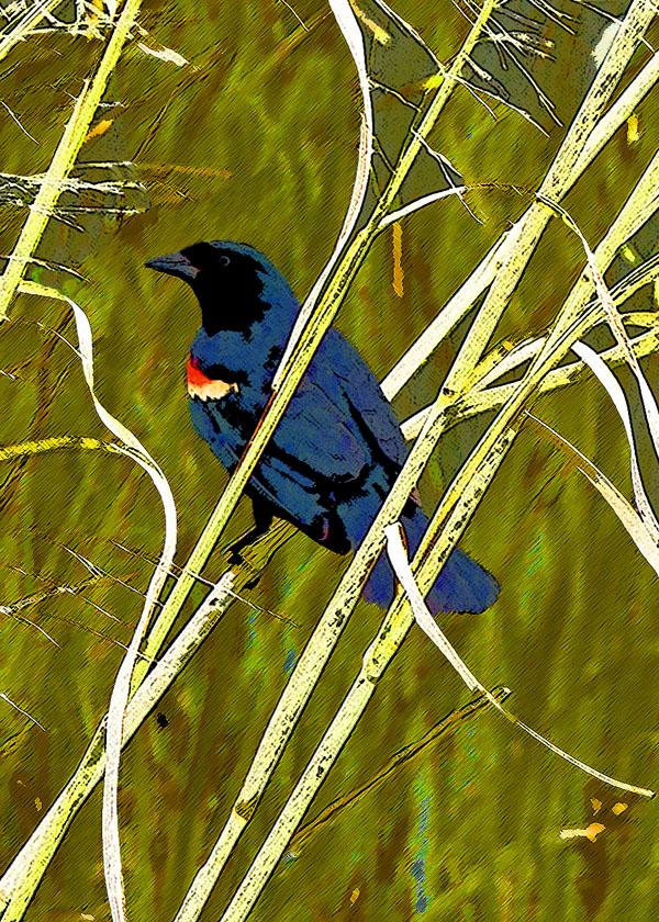 Red-winged Blackbird - juvenile