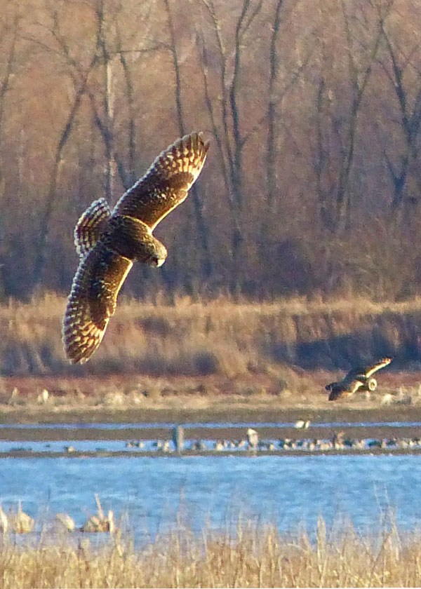 Short-eared Owls Hunting