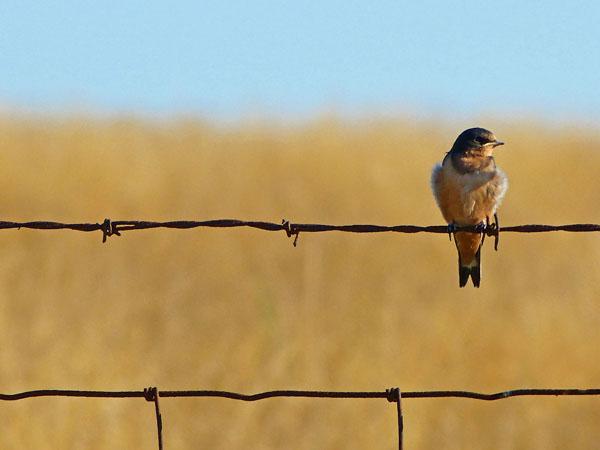 Juvenile Barn Swallow