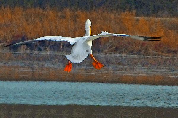The Landing  (American White Pelican)