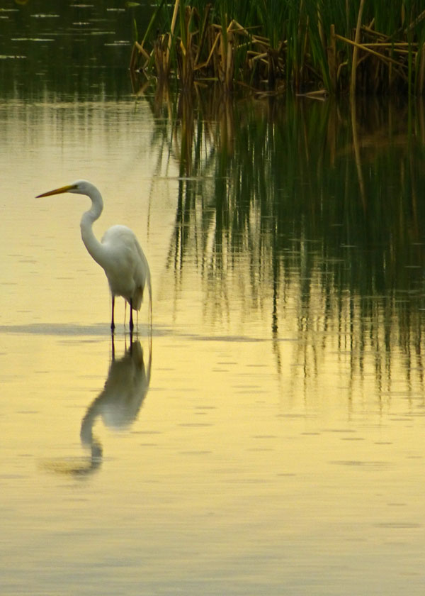 Rainy Day  (Great Egret)