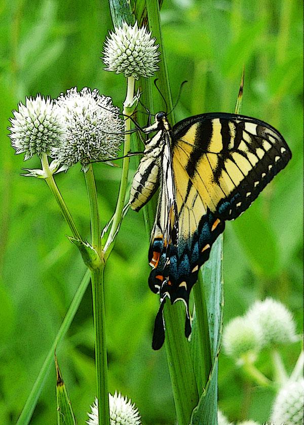 Tiger Swallowtail on Rattlesnake Weed