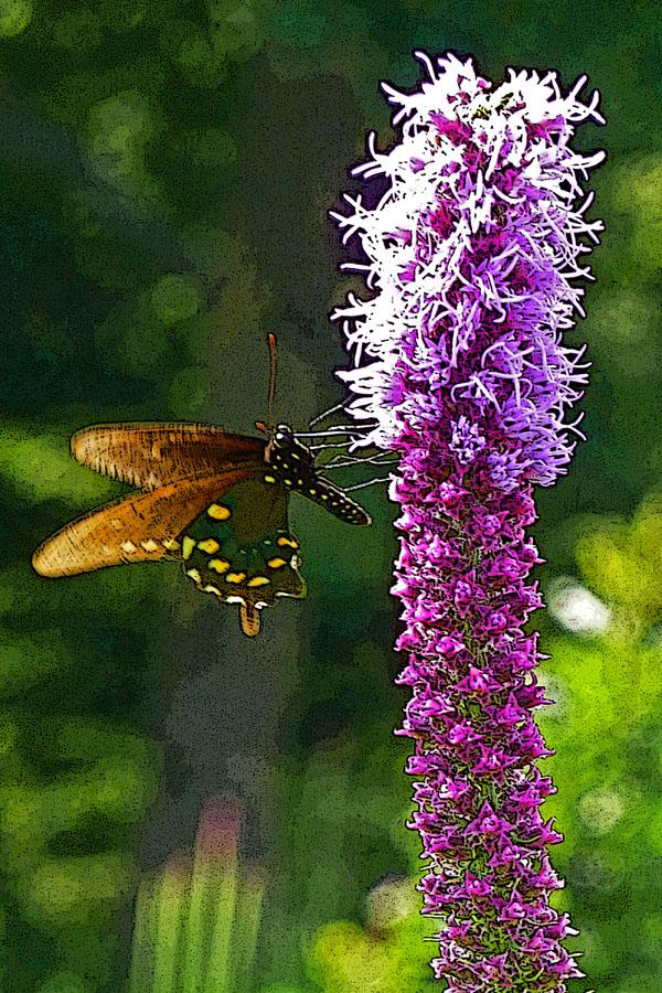 Pipevine Swallowtail on Liatris