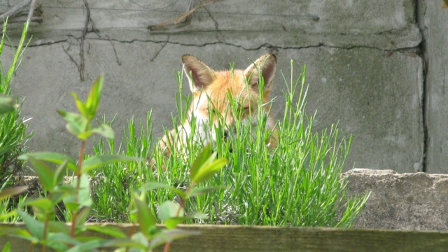 Mr Fox on Chicken Patrol