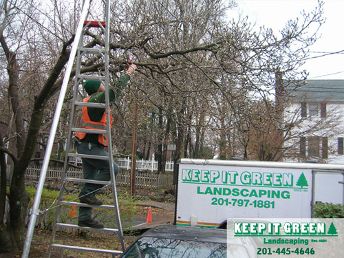 Technician pruning to remove water sprouts.  Fair Lawn, NJ  07410