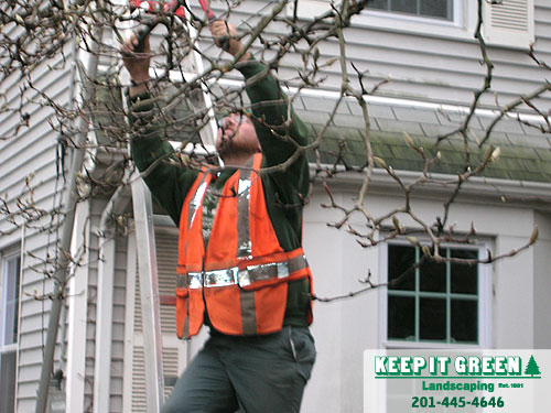 Technician pruning for proper future growth.  Fair Lawn, NJ  07410