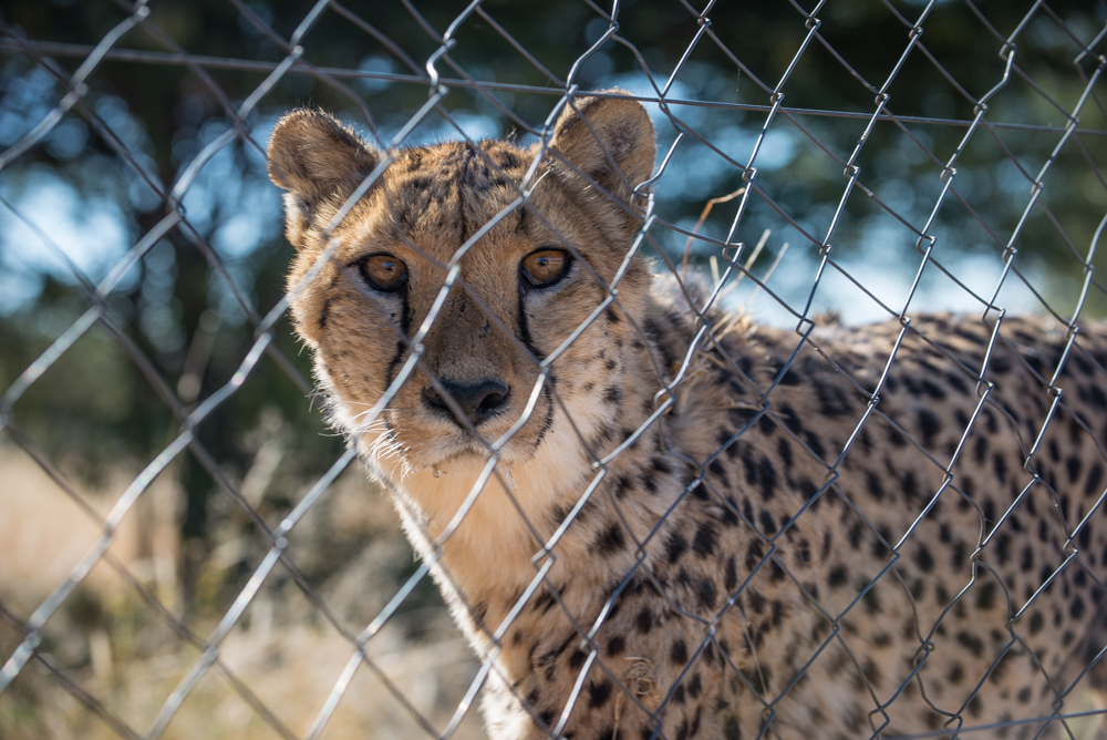 Cheetah Preserve