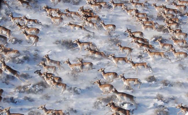 Gazelles migrating