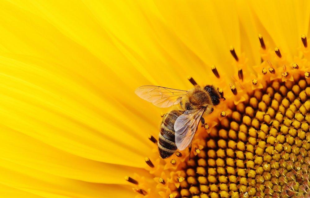 sun-flower-1643795_1920.jpg