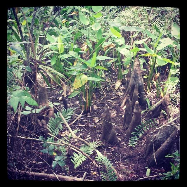 Knees at Corkscrew Swamp Sanctuary