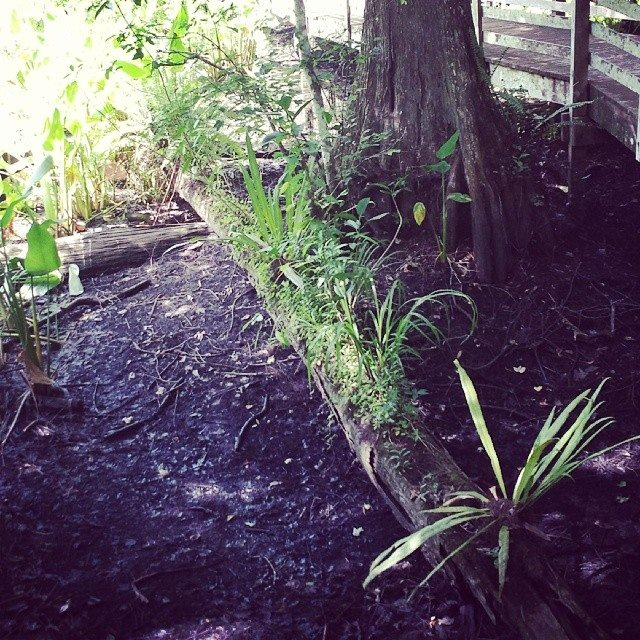 A log provides new life at Corkscrew Swamp Sanctuary