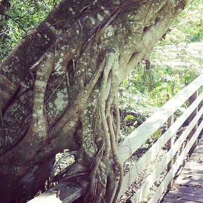 Living tree at Corkscrew Swamp Sanctuary