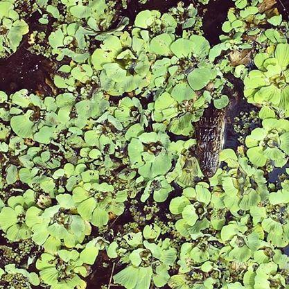 Baby gator at Corkscrew Swamp Sanctuary