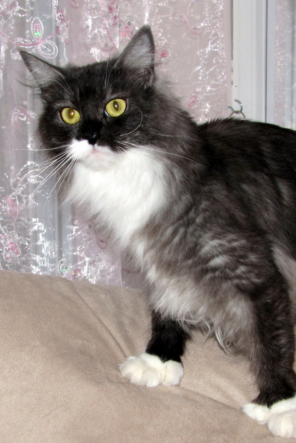 Avisticat's Petra of Rock Hill Maine Coons   Black Smoke   Polydactyl