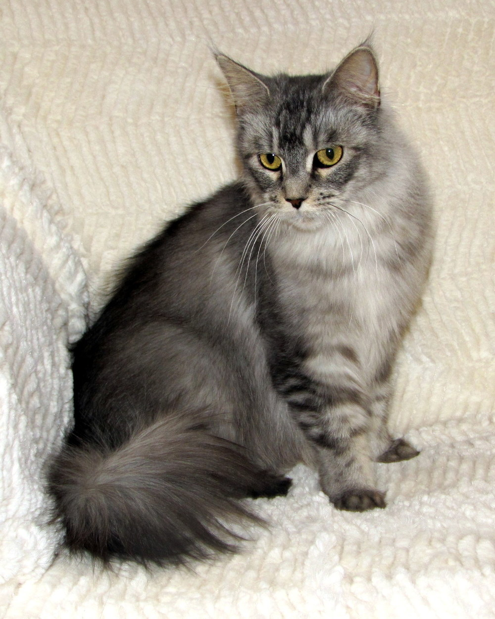 Avisticat's Tatyanna of Rock Hill Maine Coons   Shaded Silver