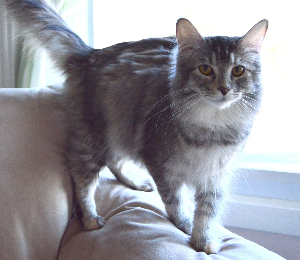 Rehbach's Silver Belle of Rock Hill Maine Coons    Silver Patched Tabby