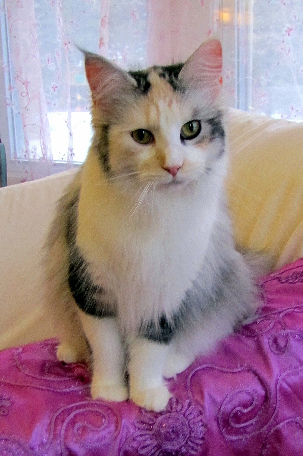 Rehbach's Daisy of Rock Hill Maine Coons    Calico Smoke